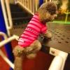 เสื้อโปโลสุนัข ลายทาง สีชมพู (พร้อมส่ง)