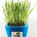 คุณประโยชน์ของข้าวสาลีเพาะงอก Wheat grass