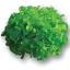 เมล็ดพันธุ์ Green Oak (เคลือบ) 50 เมล็ด thumbnail 2