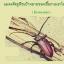 หัวเชื้อรา เมธาไรเซียม บริสุทธิ์ สำหรับขยายเชื้อ กำจัดแมลง thumbnail 9