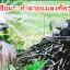 หัวเชื้อรา เมธาไรเซียม บริสุทธิ์ สำหรับขยายเชื้อ กำจัดแมลง thumbnail 4