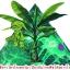 เชื้อราไตรโคเดอร์มา ชนิดน้ำ ป้องกันโรคพืช thumbnail 12