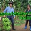 กล้วยหอมทอง 1 ไร่ 1 แสน กล้วยหอมทองสายพันธุ์ระยาง เป็นที่ต้องการของญี่ปุ่น